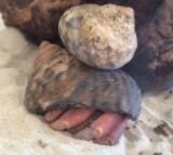 Dump Truck, Backhoe, Dozer, Hard Hat, & Shellman – Hermit Crabs