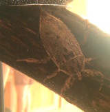 George – Giant Water Bug