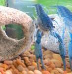 Arthur – Hammers Cobalt Blue Lobster