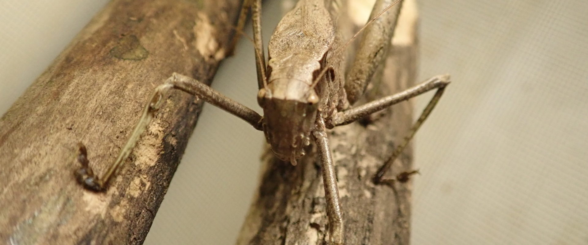 A long-legged katydid faces the camera