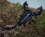 Tyson – Emperor Scorpions