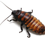 Madagascar Hissing Cockroaches