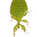 Jenny, Jill & Nolan – Leaf Insects - Missoula Insectarium