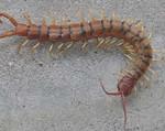 Cedric – Tiger Centipede