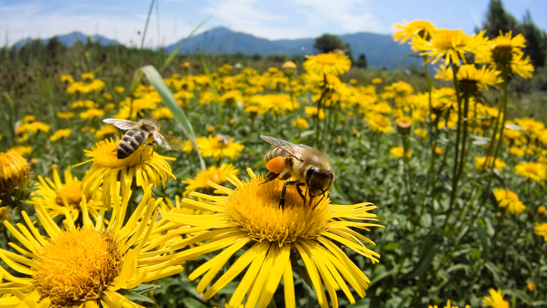 Las abejas engañan a la reproducción de flores heridas - Futurity